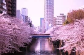Một số loại hoa anh đào Nhật Bản