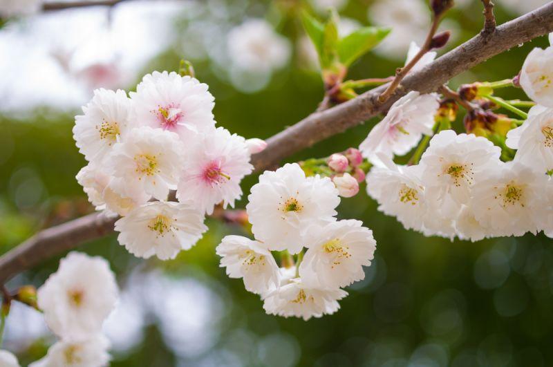 hoa anh đào Yae Zakura trong tour nhật