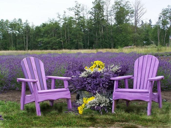 Ngắm hoa oải hương Đài Trung