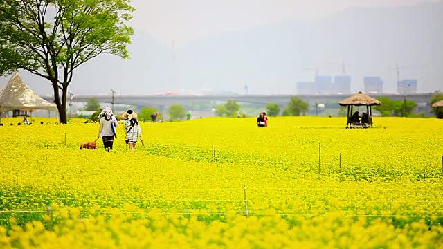 hoa cải Hàn Quốc