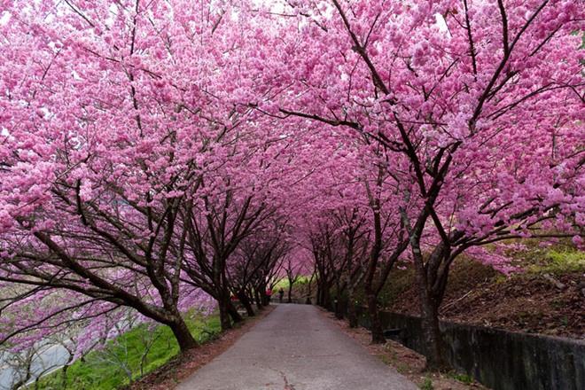 Ngắm hoa anh đào tại Yangmingshan