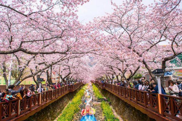 Những địa điểm ngắm hoa anh đào đẹp nhất tại Hàn Quốc
