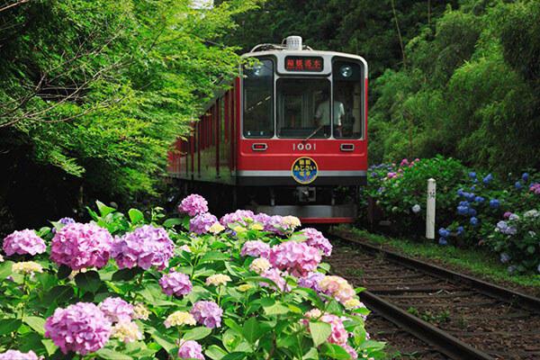 Ngắm hoa Cẩm tú cầu khi du lịch Nhật Bản