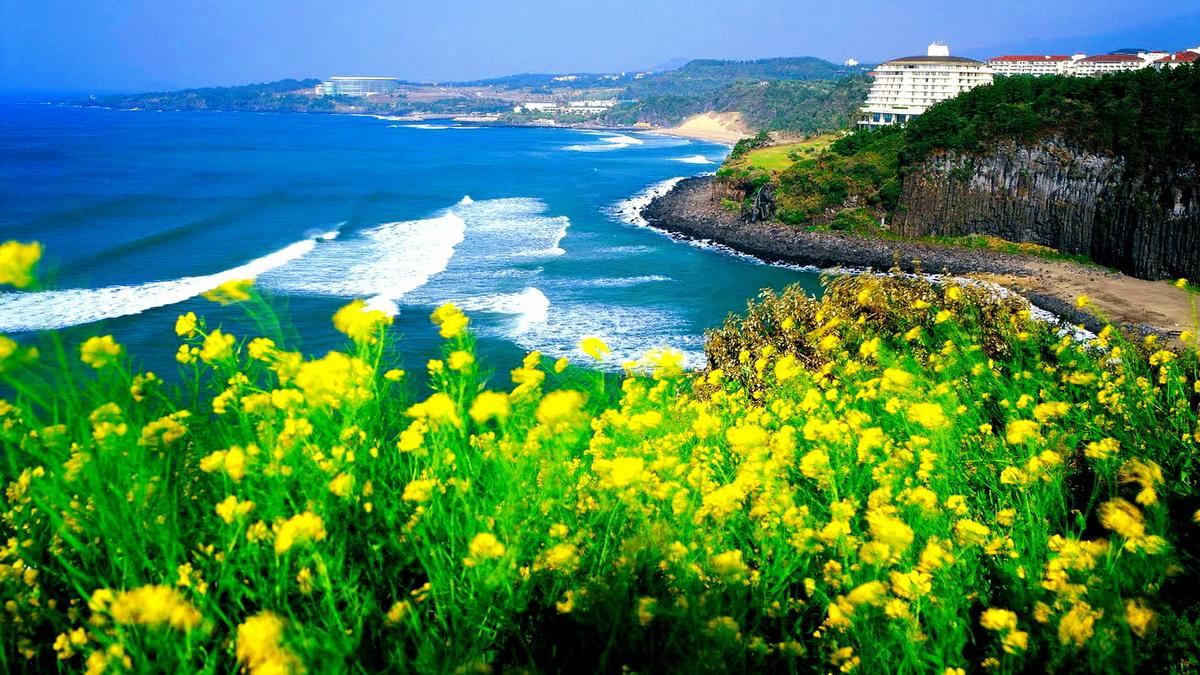cánh đồng hoa cải mọc ven bờ biển đảo Jeju