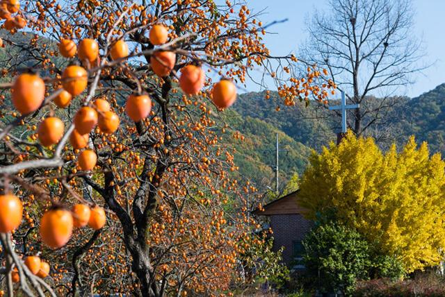 Du khách cũng đừng quên thưởng thức những quả hồng Naejangsan khi đi tour du lịch Hàn Quốc nhé
