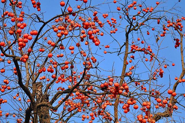 Hồng ở Hàn Quốc mùa thu