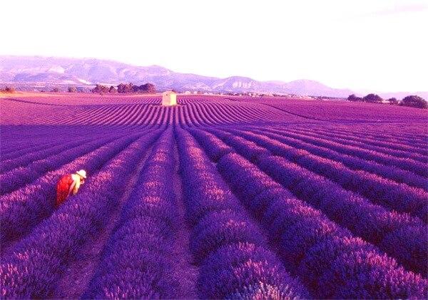 Thiên đường hoa oải Hương ở Hokkaido