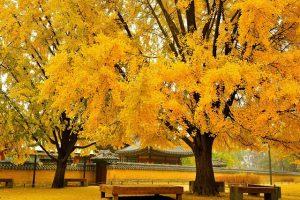 Khám phá mùa thu lá vàng khi đi du lịch Hàn Quốc
