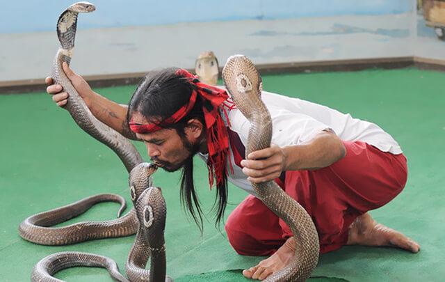 Du khách trong tour Thái Lan 5 ngày 4 đêm sẽ có trải nghiệm khó quên tại trung tâm nghiên cứu rắn độc