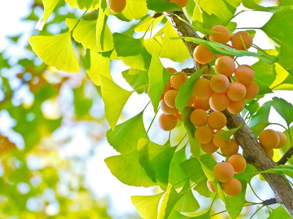 Trong Khao Lam có thêm thành phần bạch quả bổ dưỡng