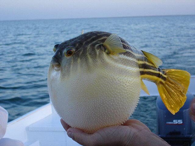 Cá nóc có hình dáng rất đáng yêu nhưng lại chứa độc tính cao