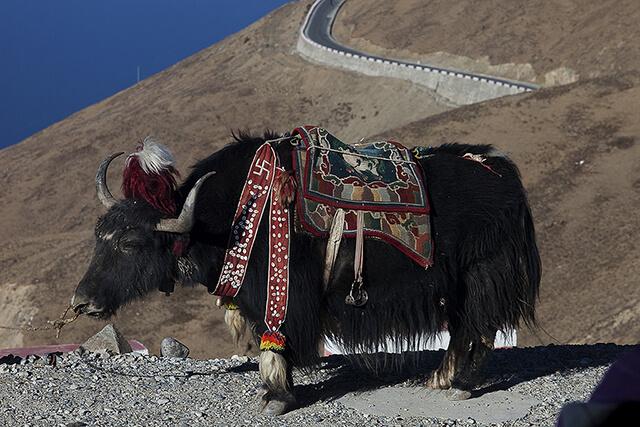 Bò yak là người bạn đồng hành với con người trong thời tiết lạnh giá của Tây Tạng hay shangrila
