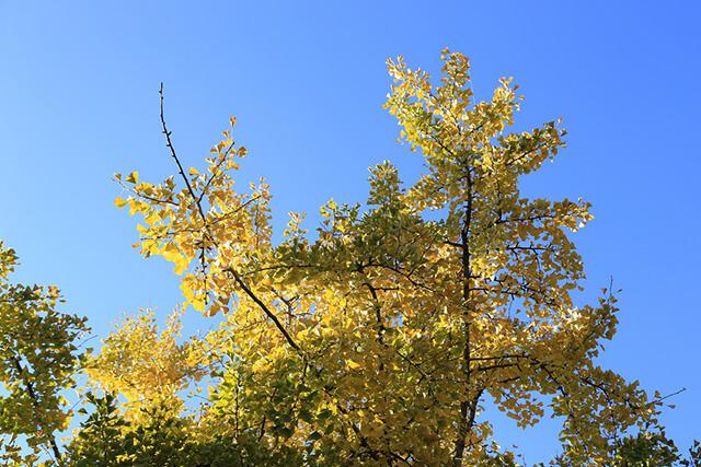 Đi tour le giang shangrila vào mùa thu bạn sẽ thấy những tán rẻ quạt vàng ươm, nổi bật trên nền trời xanh biếc