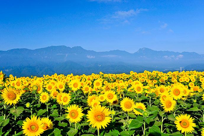 Lễ hội hoa hướng dương Nhật Bản