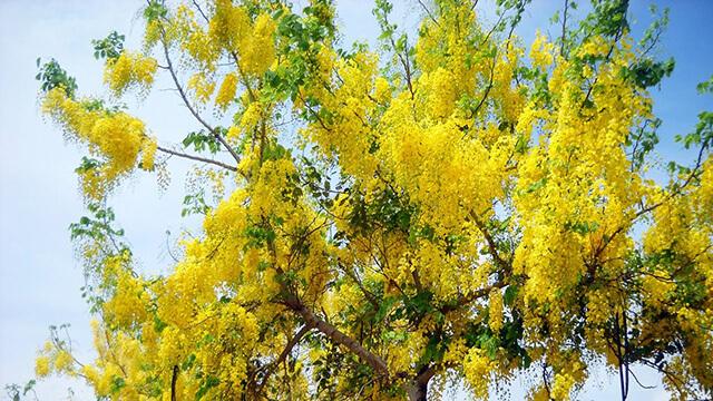 Mùa nở hoa của bọ cạp vàng là từ tháng 5 đến tháng 8
