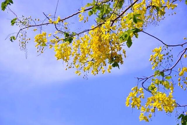 Ở Thái Lan muồng hoàng yến có tên gọi là dok khuen, ngoài ra hoa còn có rất nhiều tên gọi khác