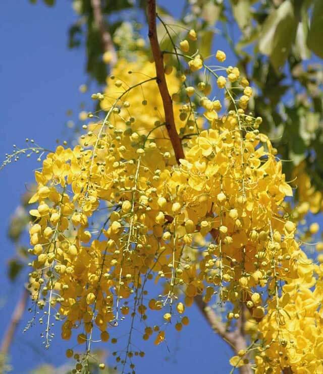 Trong tour Thái Lan du khách sẽ khám phá được nhiều điều thú vị về quốc hoa muồng hoàng yến của xứ chùa tháp