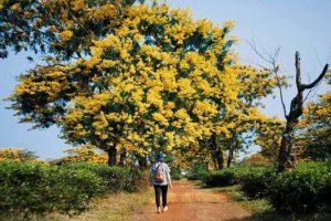 Bọ cạp vàng được trồng rất nhiều ở Thái Lan