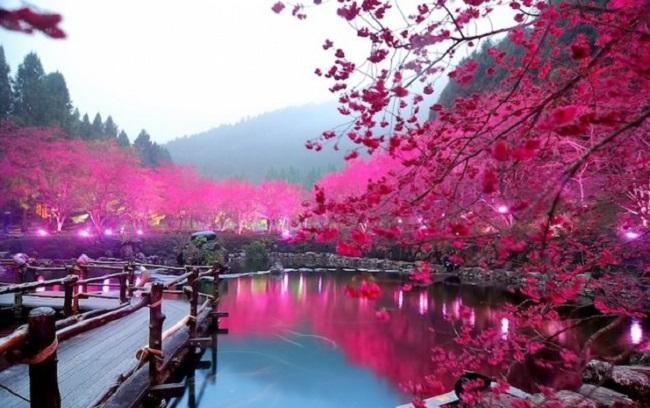 ngắm hoa anh đào ở Hồ Nhật Nguyệt