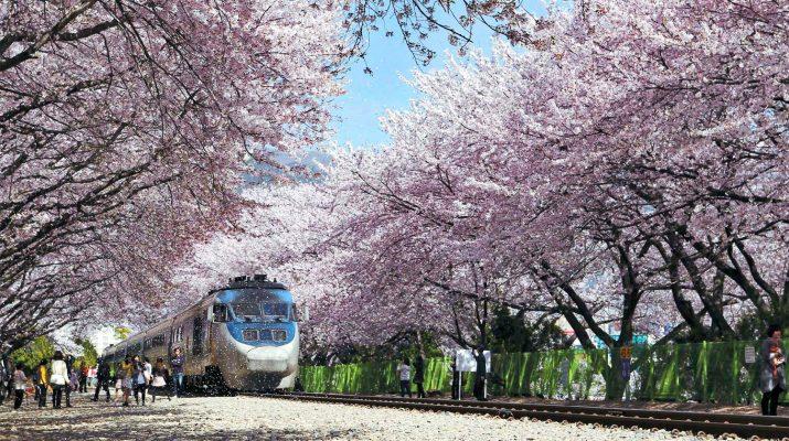 Lễ hội ngắm hoa anh đào, Hàn Quốc
