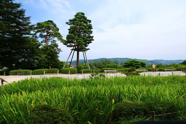 Cây Karasaki Pine