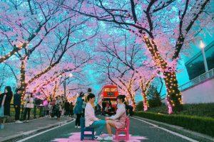 Còn gì tuyệt vời hơn khi được ngắm hoa anh đào trong tour du lịch Hàn Quốc