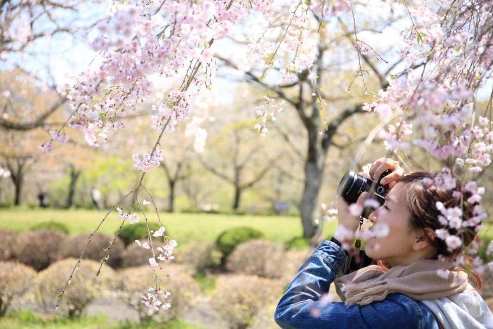 Lễ hội hoa anh đào ở đảo Jeju