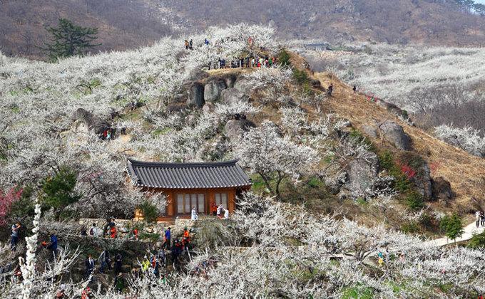 Lễ hội hoa mai trắng, Hàn Quốc