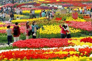 Những lễ hội hoa nổi tiếng nên biết khi đi du lịch Hàn Quốc