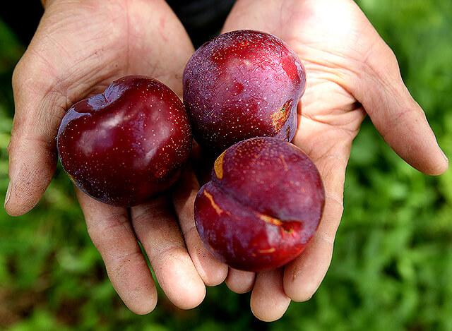 Mùa hè cũng là lúc vào vụ của nhiều loại trái cây chín mong, ngọt lịm