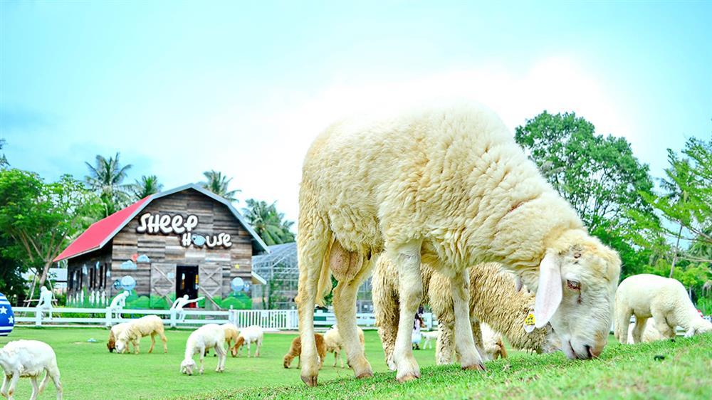 Pattaya Sheep Farm, Thái Lan