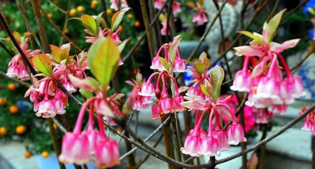 Khoe sắc với loài hoa đào chuông Bà Nà Hill, Đà Nẵng