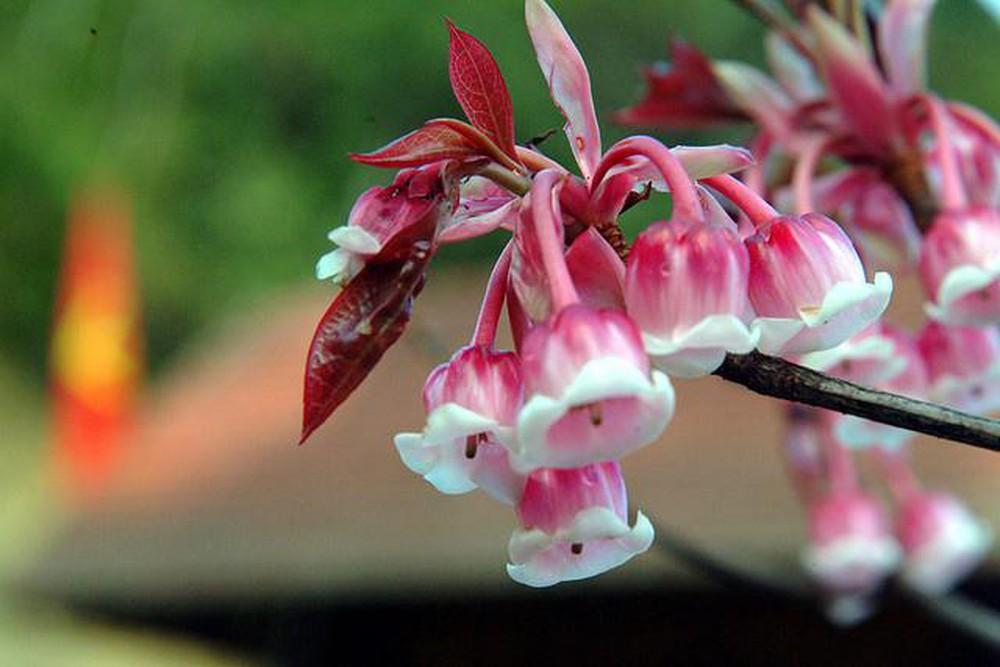 hoa đào chuông trên đỉnh Bà Nà Hill trong tour du lịch Đà Nẵng