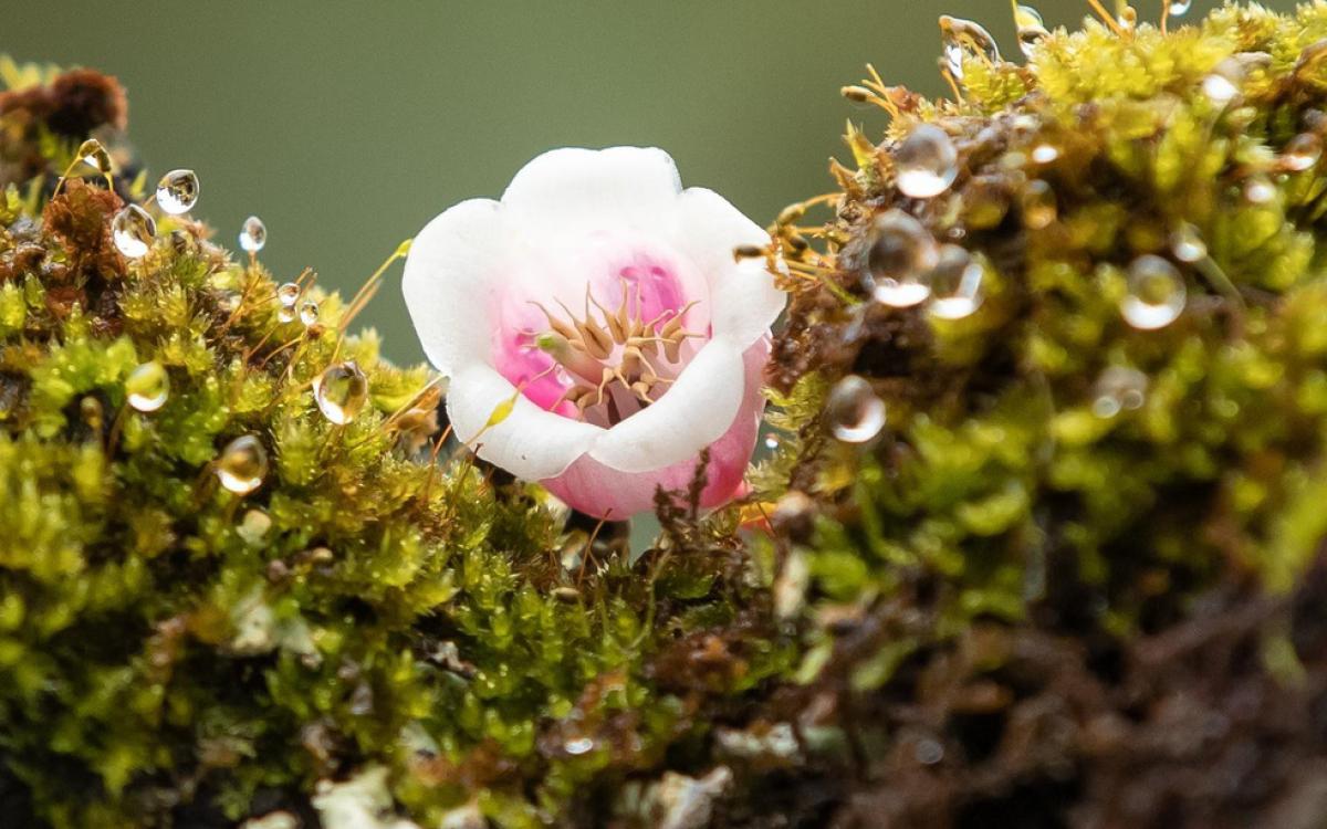 hoa đào chuông Bà Nà Hill, Đà Nẵng
