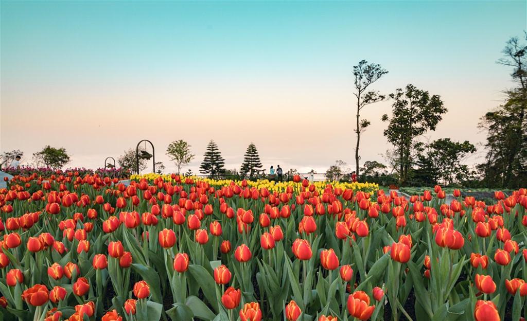 Rực rỡ loài hoa tulip tại Bà Nà Hill, Đà Nẵng