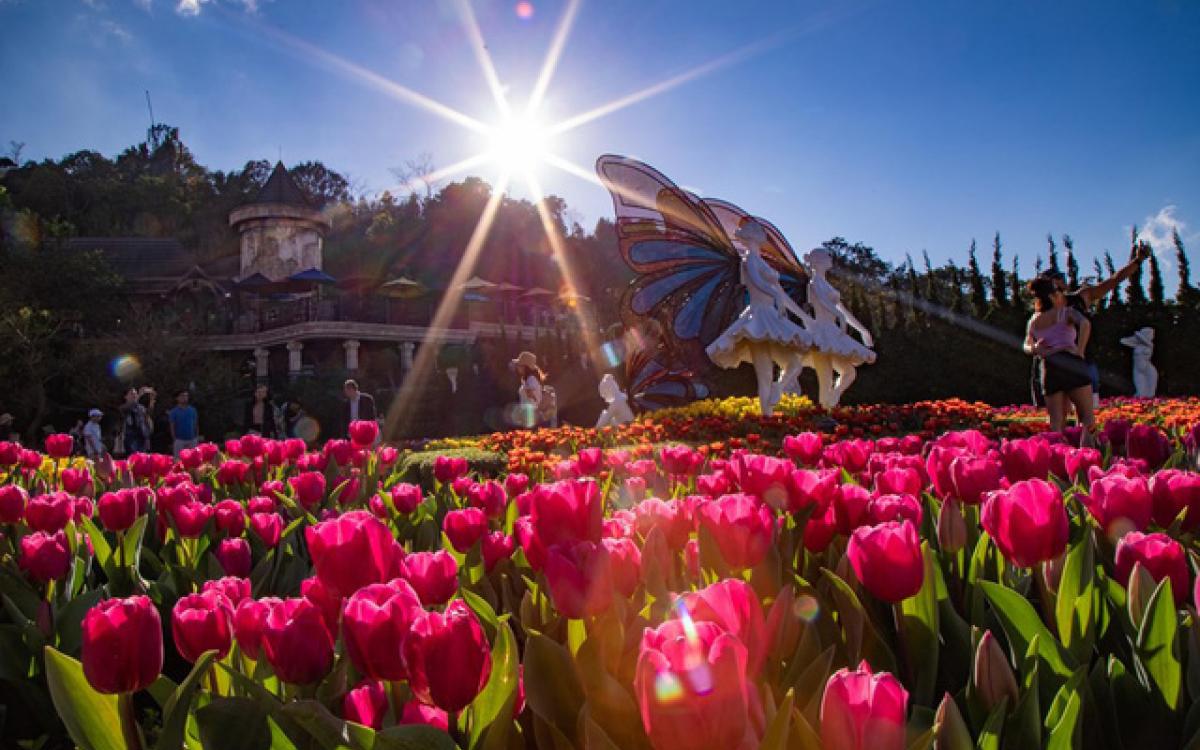 Chiêm ngưỡng vẻ đẹp hoa tulip trên đỉnh Bà Nà Hil
