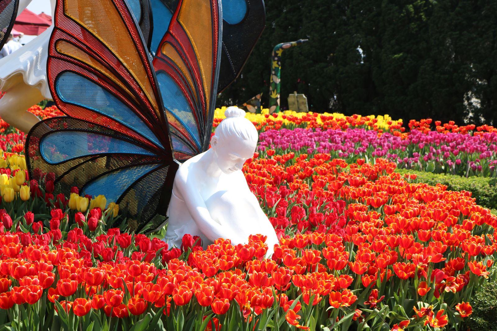 Đại diện khu du lịch cho biết Bà Nà là một trong số ít nơi có những giống tulip cánh kép như strong gold, spryng break, alibi, yellow flight, white liberstar…