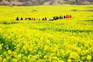 Đi tour Hàn Quốc để đón sắc hoa cải rực vàng trong nắng