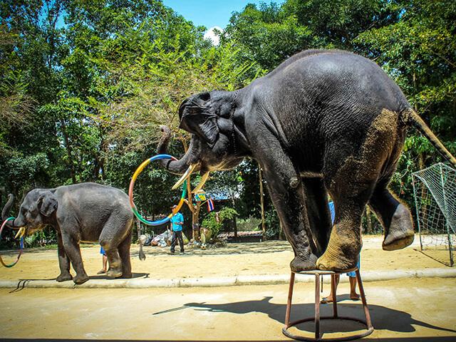 Hình ảnh những chú voi đang biểu diễn xiếc