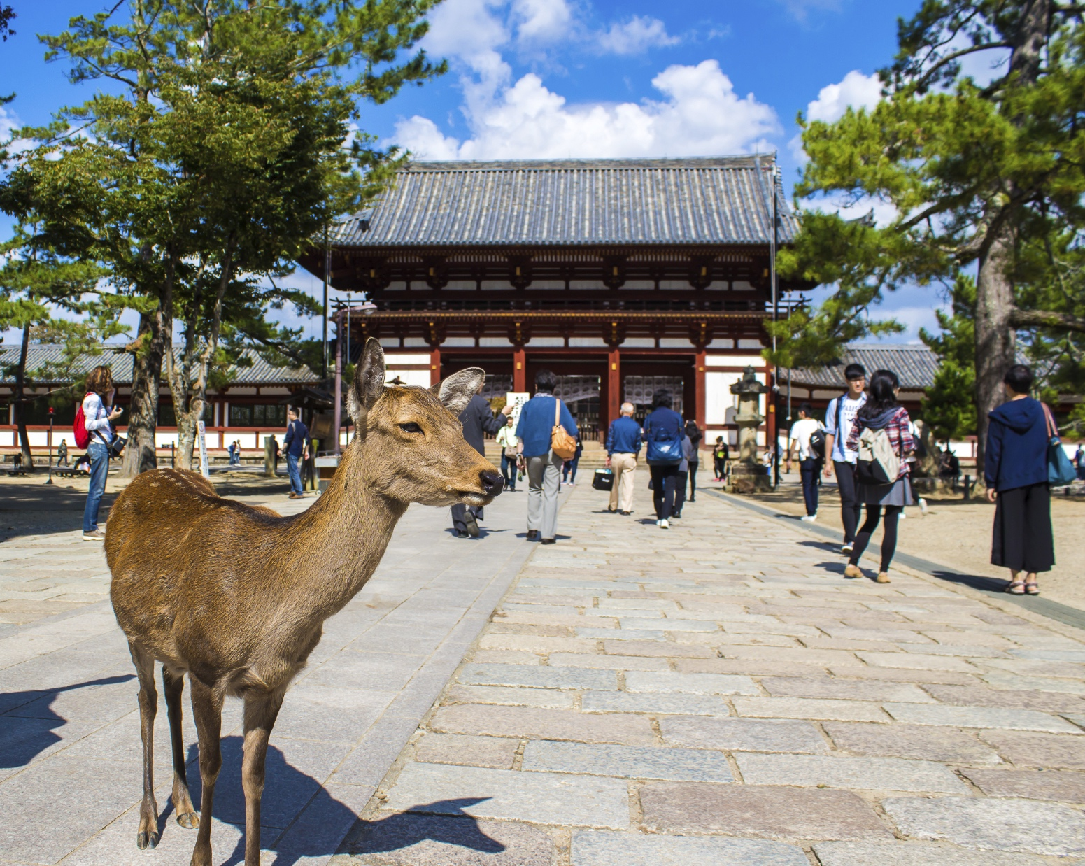 """Chú """"nai thần"""" ở thành phố Nara Nhật Bản"""