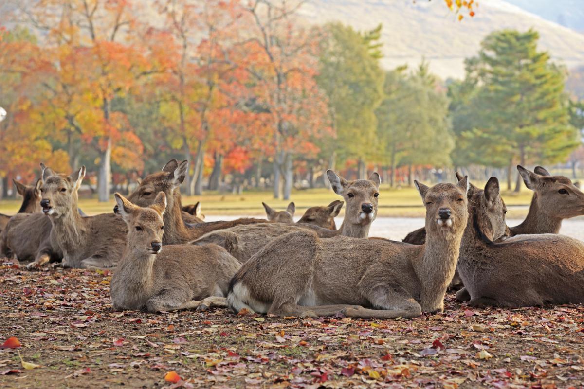 Những chú Nai tại công viên Nara, Nhật Bản
