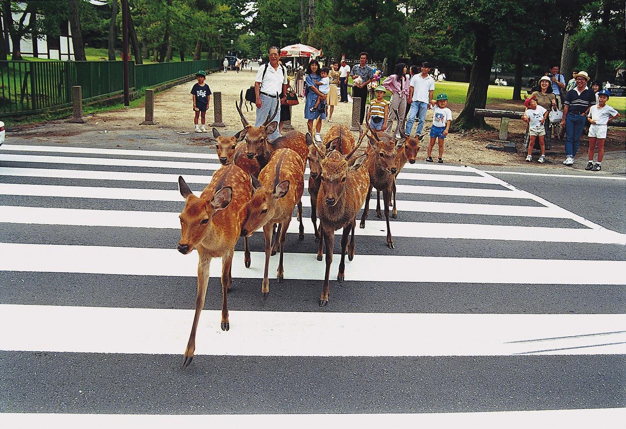 Những chú Nai không chịu qua đường luôn làm giao thông ở Nara bị ùn tắc