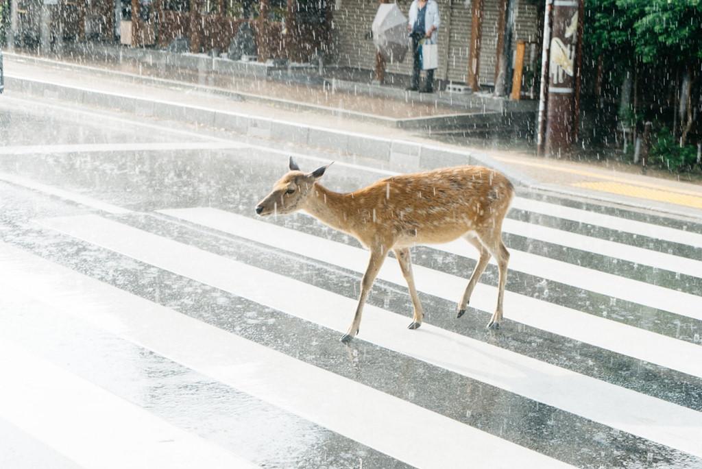 Một chú nai đang băng qua đường ở Nara