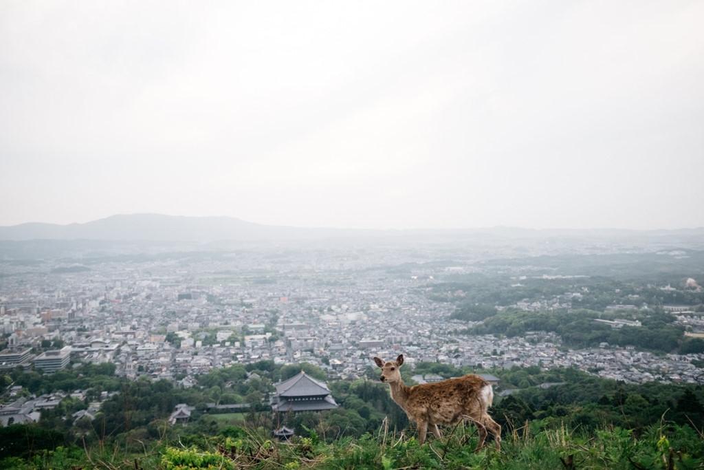 Truyền thuyết về những chú Nai ở thành phố Nara
