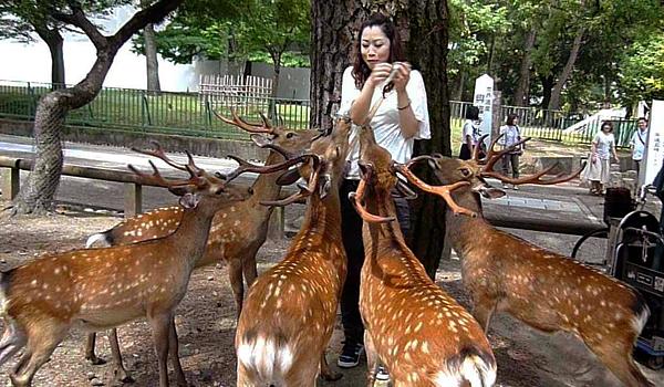 Cho Nai ăn tại công viên Nara, Nhật Bản