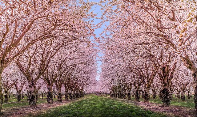 Mùa xuân đến khiến xứ Đài tràn đầy sức sống với nhiều sắc hoa rực rỡ, đặc biệt là hoa anh đào