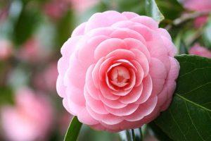 Tìm hiểu về ý nghĩa các loài hoa trước khi đi du lịch Nhật Bản (phần 3)