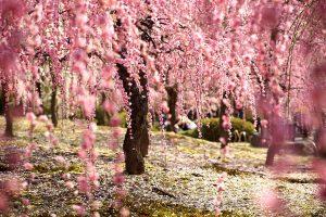 Tìm hiểu về ý nghĩa các loài hoa trước khi đi du lịch Nhật Bản (phần 1)