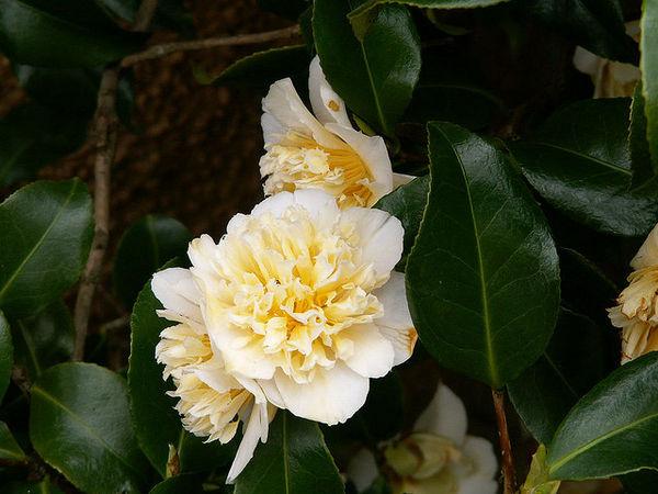 Hoa sơn trà vàng (Tsubaki, 椿)