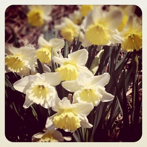 Hoa thuỷ tiên vàng (Suisen, 水仙)